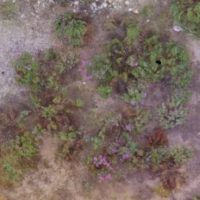 Overhead image of purple-flowered plants